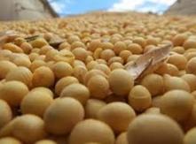 animal feed soybean