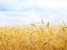 Wheat Crop in Ukraine