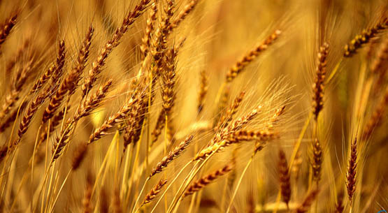 Barley Exporter from Ukraine and Bulgaria